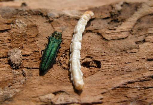 Agriles_ver-et-insecte